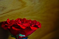 Red rose against wooden texture background blur. An opened delicate petal red rose against a wooden texture background Royalty Free Stock Photos