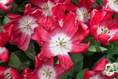 Opened flowers of red tulips with white centers.  royalty free stock photos