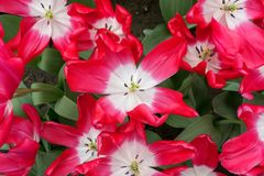 Opened flowers of red tulips with white centers.  stock photos