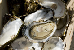 Opened oyster Royalty Free Stock Photography