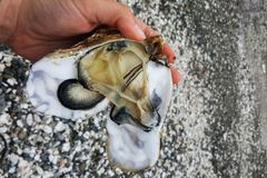 Opened oyster shell and its contents in the hands royalty free stock photos
