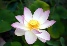 Opened pink Lotus flower. In the Geneva Botanical garden stock images