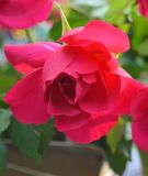 Opened red rose Stock Images