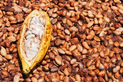 Opened ripe cocoa pod on drying raw beans background Stock Image