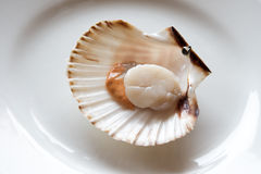 Opened scallop Royalty Free Stock Photos