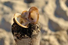 Opened seashell on the sand beach royalty free stock images