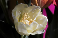 Opened spring tulip Stock Photography
