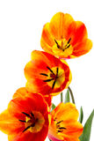 The opened tulips Stock Photography