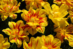 Opened tulips. Yellow and red tulips are wide opened in the sun Stock Image