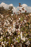 Opened white cotton bolls Stock Images