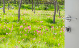 Opened white door to blurred pink siam tulip field Royalty Free Stock Image