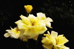Opened yellow roses and bud Royalty Free Stock Image
