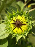 Opening. Sunflower bud Stock Image