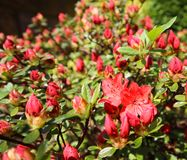 Opening of beautiful red azalea flower in spring garden. Gardening concept. Floral background.  royalty free stock photos