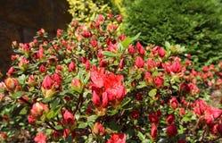 Opening of beautiful red azalea flower in spring garden. Gardening concept. Floral background.  stock photos