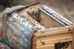 Opening bee hive. Close-up shot for opening bee hive in a beeyard Stock Photo