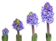 Opening blue hyacinth Stock Images