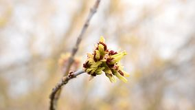 Opening buds of box elder tree swaying in wind. Acer negundo. Close-up of opening buds of box elder tree swinging stirred by wind in spring on blurred background stock footage