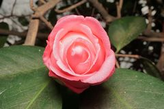 Opening Camellia Bloom. A pink camellia bloom that had not fully opened Stock Photo