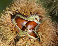 The opening chestnuts Stock Photos