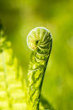 Opening fern Royalty Free Stock Image