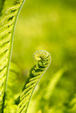 Opening fern Stock Images
