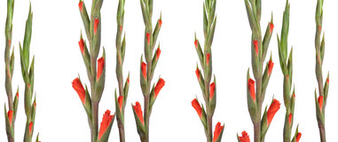 Opening gladioli shoots Stock Photography