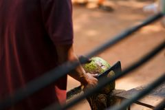 Opening green fresh coconut with big knife Royalty Free Stock Images