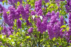 Lilac or elder bush Royalty Free Stock Images