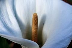 The opening of a Lilly. Lilly flower shot under soft light Stock Photography