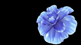 Opening long blooming blue flower time-lapse 3d animation isolated on background new quality beautiful holiday natural. Opening long blooming flower time-lapse stock video footage