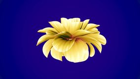 Opening long blooming yellow flower time-lapse 3d animation isolated on chroma key green screen background new quality. Opening long blooming flower time-lapse stock video footage