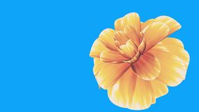 Opening long blooming yellow flower time-lapse 3d animation isolated on chroma key green screen background new quality. Opening long blooming flower time-lapse stock video