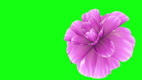 Opening long blooming purple flower time-lapse 3d animation isolated on chroma key green screen background new quality. Opening long blooming flower time-lapse stock footage
