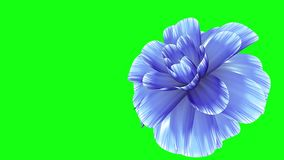 Opening long blooming blue flower time-lapse 3d animation isolated on chroma key green screen background new quality. Opening long blooming flower time-lapse 3d stock video