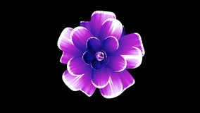 Opening long blooming purple flower time-lapse 3d animation isolated on background new quality beautiful holiday natural. Opening long blooming flower time-lapse stock video