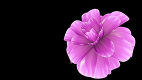 Opening long blooming pink flower time-lapse 3d animation isolated on background new quality beautiful holiday natural. Opening long blooming flower time-lapse stock video