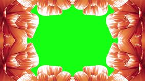 Opening long blooming orange flowers farme time-lapse animation isolated on chroma key green screen background new. Opening long blooming flowers farme time stock video
