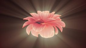 Opening long blooming shiny light red flower time-lapse 3d animation isolated on background new quality beautiful. Opening long blooming flower time-lapse 3d stock video
