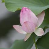 Opening lotus flower, Nelumbo nucifera Stock Image