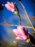 Opening magnolia buds Royalty Free Stock Images