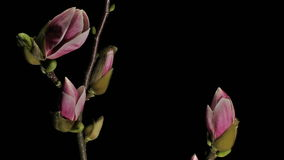 Opening Magnolia Flowers Motion Background Time Lapse stock video