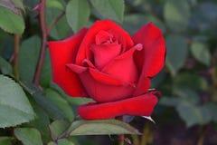 Opening Night Red Rose 05 royalty free stock image