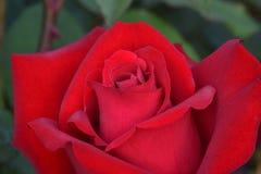 Opening Night Red Rose Macro stock image
