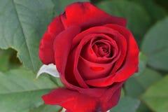 Opening Night Red Rose Macro 03 stock photography