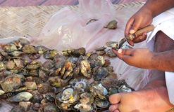 Opening of pearl oyster by skill pearler Royalty Free Stock Image