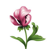 Opening pink peony flower and green curly leaves illustration Royalty Free Stock Images