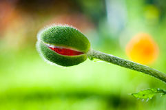 Opening poppy bud Stock Photography
