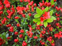 Blooming red azalea flower in spring garden. Gardening concept. Floral background.  royalty free stock images