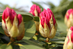 Opening red rhododendron buds Royalty Free Stock Photos